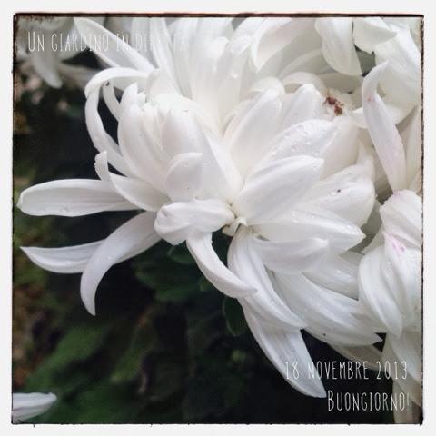 Crisantemo (chrysanthemum morifolium)