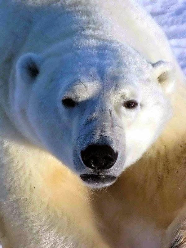 Polar Bears of Manitoba