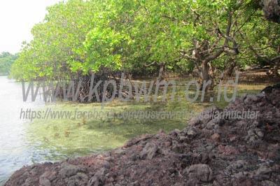 pohon mangrove di tappina