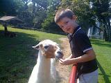 Feeding a llama.