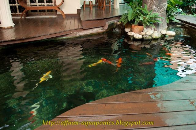 Affnan 39 s aquaponics aquaponics malaysia en ahmad hayan for Garden pool tilapia
