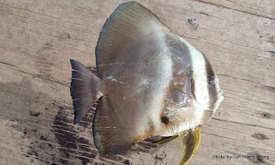 Subadult Longfin Batfish, Platax teira, Tudung Periuk, Telinga Gajah