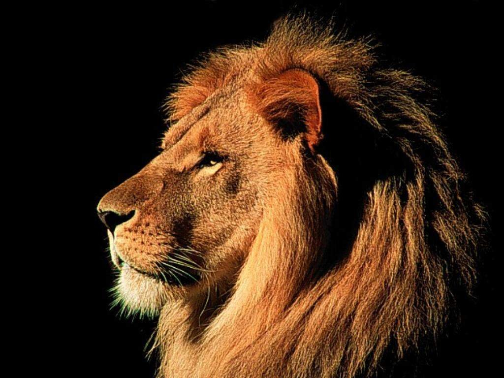 Cool Animals Pictures: 36 Pictures of Lions -Cool Lions Photos