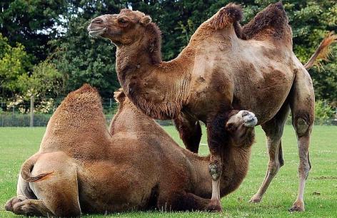 Camellos en pareja (hembra y macho)