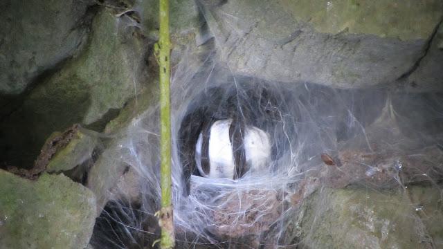 A Tarantula nest.