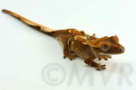 Barleycorn - Tricolor crested gecko from moonvalleyreptiles.com