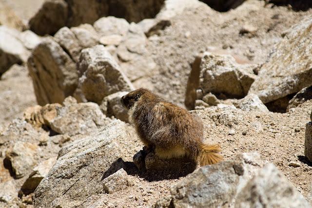 Marmot Contemplation