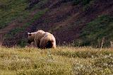 Bear Walking Away - Denali National Park, AK