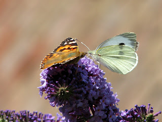 Painted Lady and Large White Butterflies