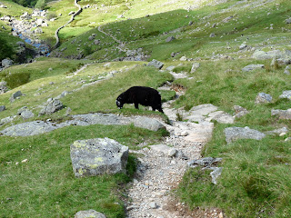 A black sheep on the path.