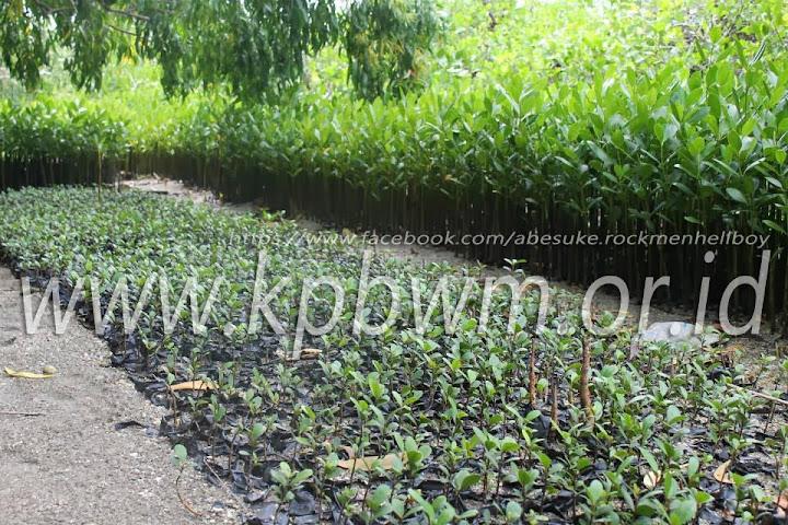 bibit mangrove YPMMD baluno sendana