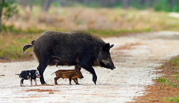 wild pigs