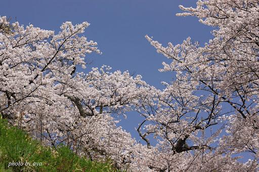 三春の桜 1