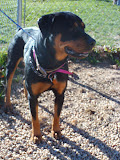 Angie is the cutest 'pocket rottie' who found herself a homeless stray on the streets of Philly