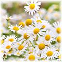 chamomile flowers Kandungan Phytochi