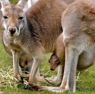 Canguro madre e hijo mirando a la cámara