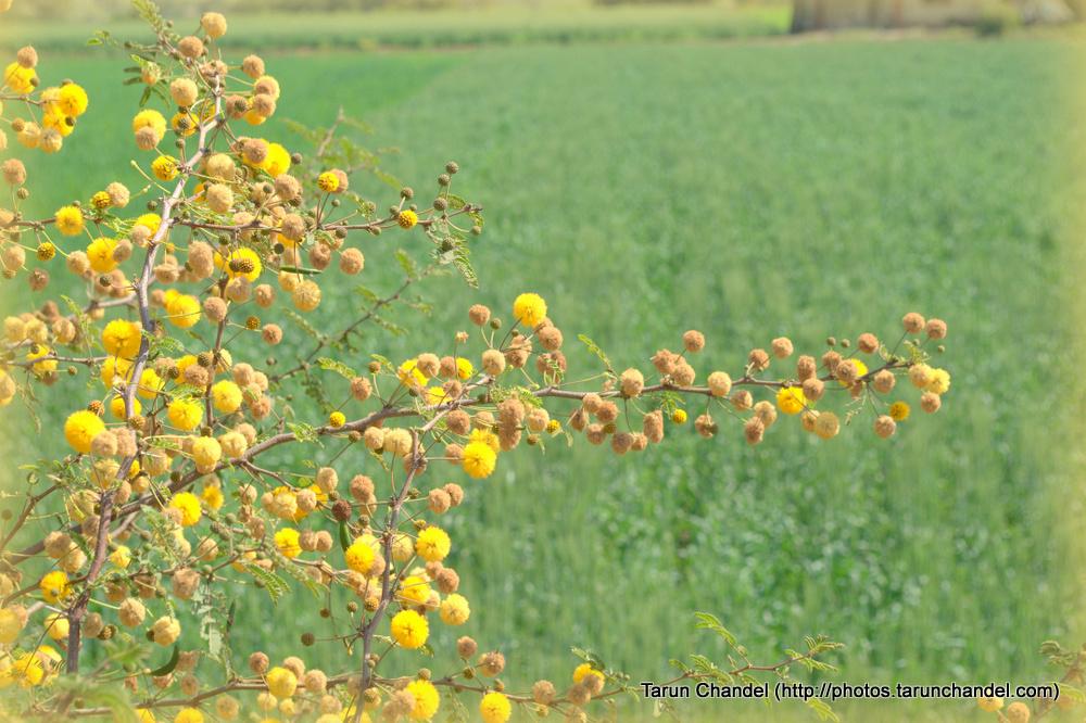 Yellow Flowers , Tarun Chandel Photoblog