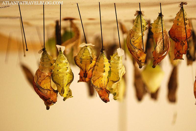 Фото куколки и бабочки