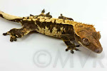 JB's Sloppy Joe™ - Black and cream harlequin crested gecko from moonvalleyreptiles.com