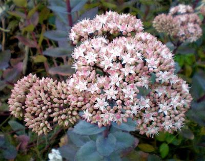 Seattle Urban Landscape: Perennials for Sun