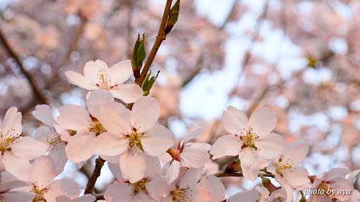 高遠城址公園の桜4