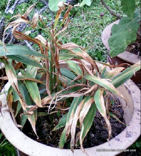 Ginger Plant That Has Been Grown Under Direct Sunlight
