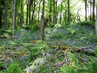 Bluebells in Low Hag Wood