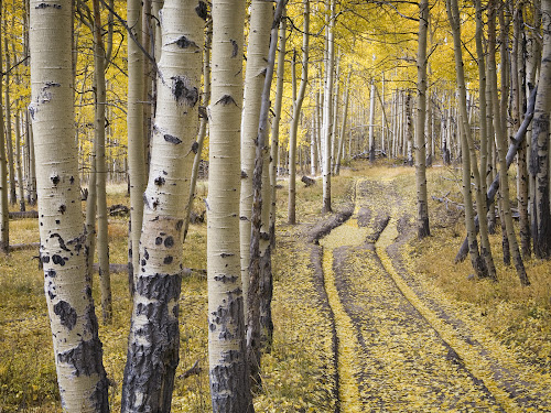 Image of Quaking Aspens (Populus tremuloides)