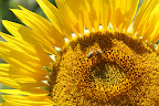Sunflower and Bee (July 2011, WineInProvence)