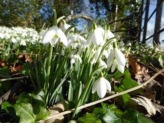 Snowdrops At Hopton Hall
