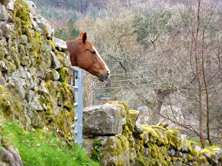 A friendly horse peeps over a gate!