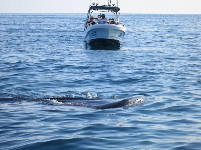 A whale shark feeding near the surface.