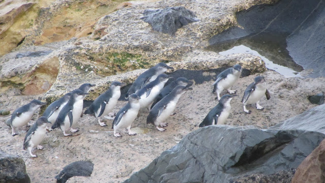 A group of penguins we saw outside the paid visitor's attraction.