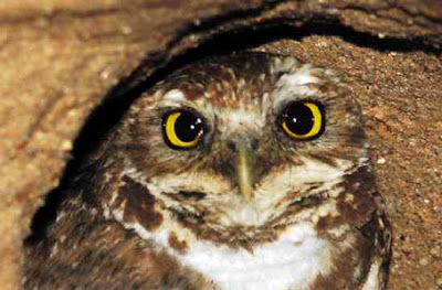 Burung Burrowing Owl