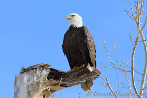 A bald eagle rests on a dead tree stump near the entrance to the Rocky Mountain Arsenal National Wildlife Refuge.  See more photos in the slideshow below.