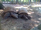 Big turtles (tortoises?)