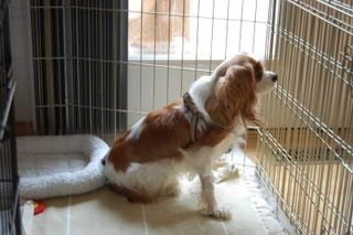 Syringomyelia Awareness: Charlie the Rescue Boy Loved and Cherished Until the End