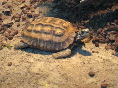RAWR I'm a turtle!