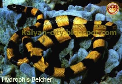 Hydrophis Belcheri