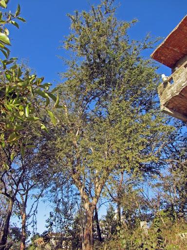 Guamúchil tree