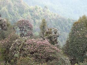 Rhododendrons en fleur