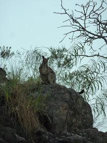 Wallabi