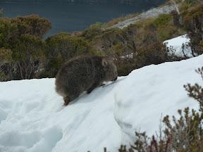 Bébé wombat dans la neige