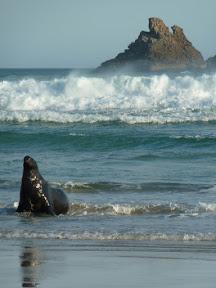 Lion de mer