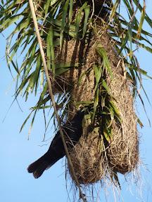 Geai acahé sur son nid