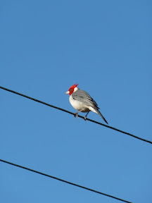 Cardinal à tête rouge