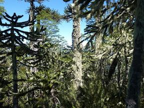 Forêt d'araucarias