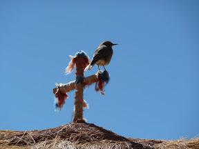 Petit oiseau de Machuca