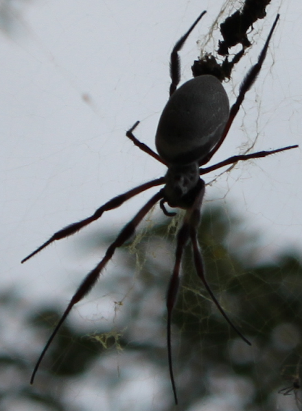 horrible black spider
