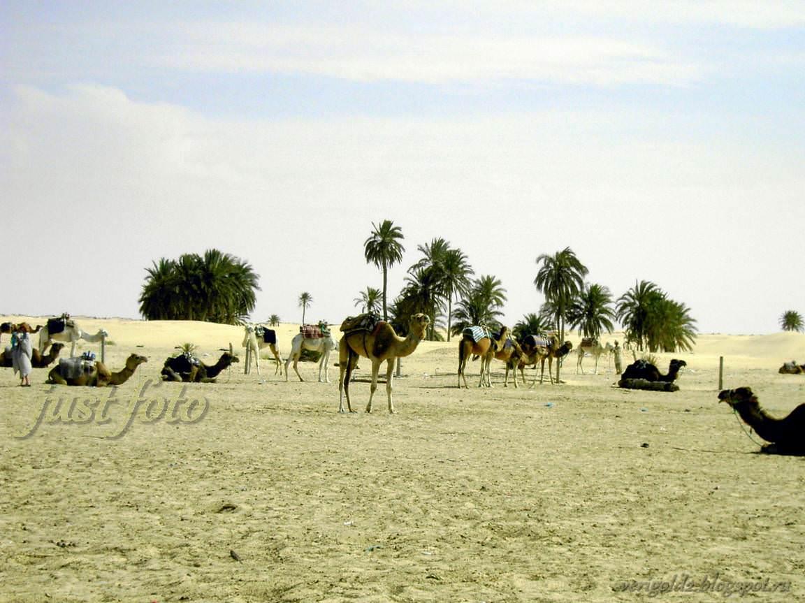 Поехали - на верблюде по Сахаре